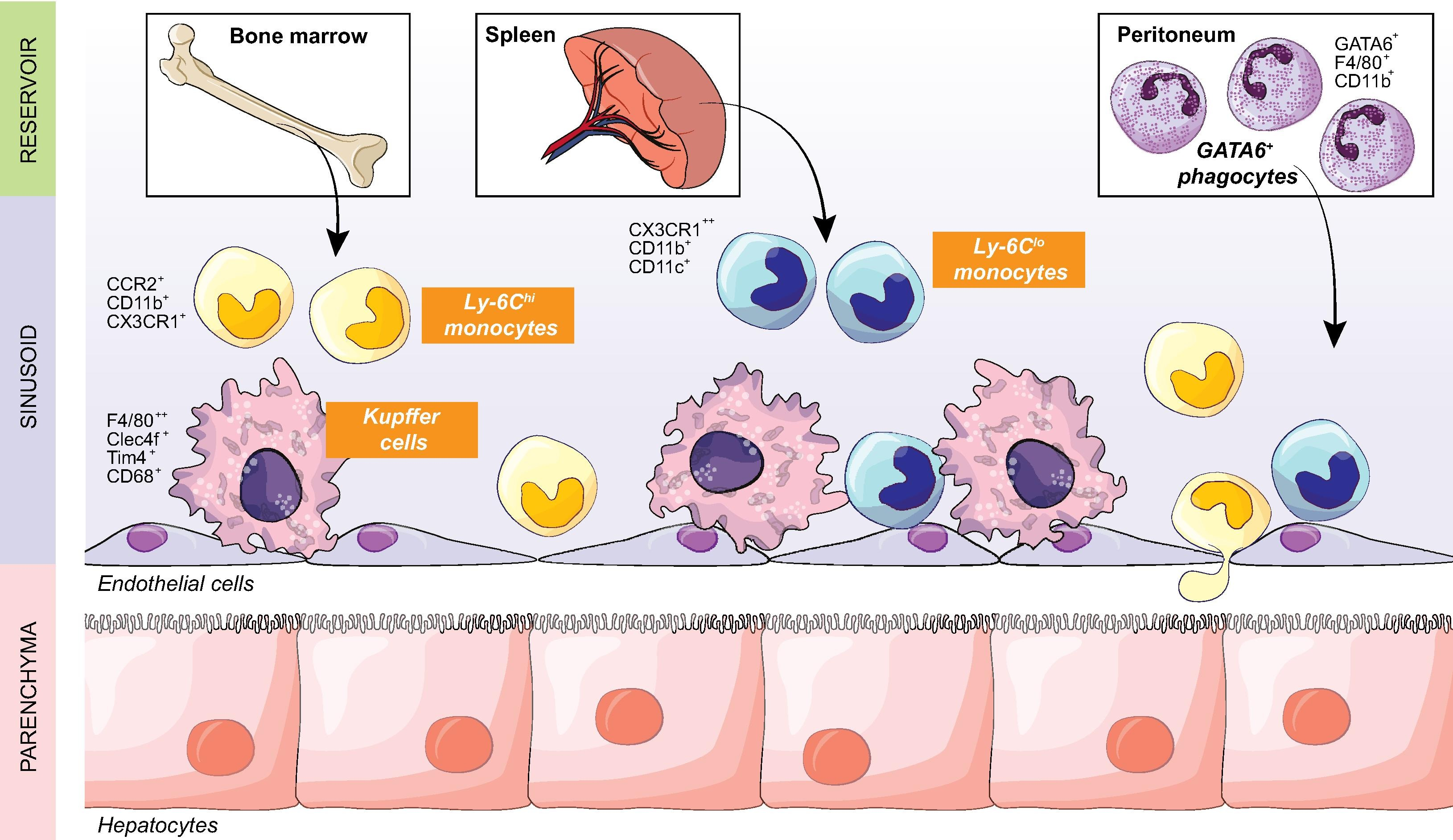 Macrophages and the liver
